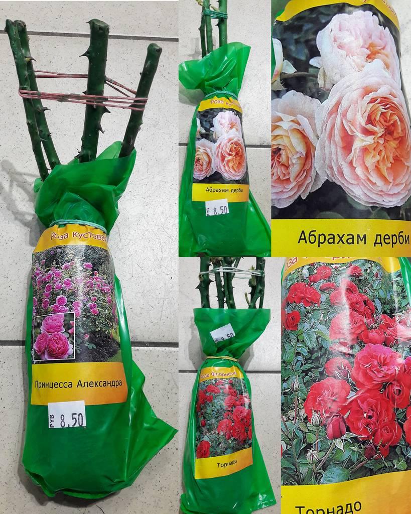 Саженцы роз с доставкой по россии, цветов